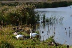 Cisnes & cisnes novos, brejo de Strumpshaw, Norfolk, Inglaterra foto de stock