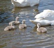 Cisnes novos com Mum e paizinho Fotos de Stock