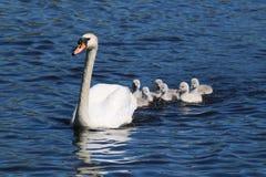 Cisnes novos depois da cisne da mãe Fotografia de Stock Royalty Free