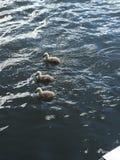 Cisnes novos do irmão Imagem de Stock