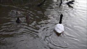 Cisnes novos do mergulho vídeos de arquivo