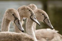 Cisnes novos do olor do Cygnus da cisne muda fotos de stock