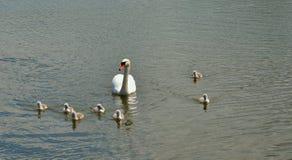Cisnes novos e seu mum foto de stock