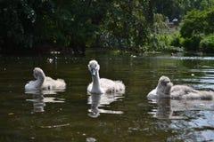 3 cisnes novos em uma lagoa Foto de Stock