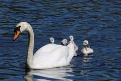 Cisnes novos escondendo imagens de stock royalty free