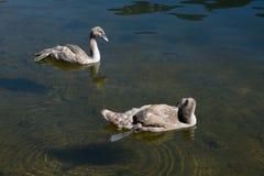Cisnes novos iluminados na luz do sol Imagem de Stock