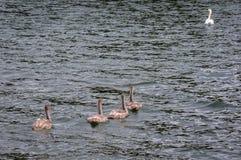 Cisnes novos no Polônia fotografia de stock royalty free