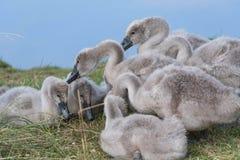 Cisnes novos que alimentam em fatballs foto de stock royalty free