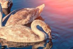 Cisnes novos que nadam em um lago imagem de stock