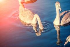 Cisnes novos que nadam em um lago fotografia de stock