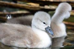 Cisnes novos que nadam na água fotografia de stock royalty free