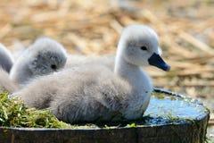 Cisnes novos que sentam-se em uma cubeta da água imagens de stock