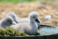 Cisnes novos que sentam-se em uma cubeta da água imagem de stock royalty free