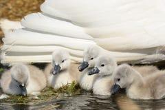 Cisnes novos recém-nascidos com sua mãe fotografia de stock