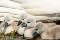 Cisnes novos recém-nascidos com sua mãe imagem de stock