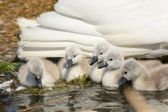 Cisnes novos recém-nascidos na água com sua mãe imagem de stock royalty free
