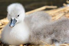 Cisnes novos recém-nascidos que sentam-se em um ninho foto de stock