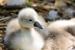 Cisnes novos recém-nascidos que sentam-se em um ninho fotos de stock
