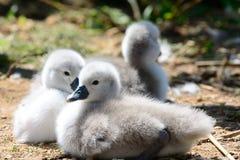 Cisnes novos recém-nascidos que sentam-se na terra fotos de stock