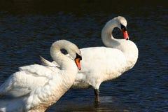 Cisnes, para sempre junto, Imagens de Stock Royalty Free