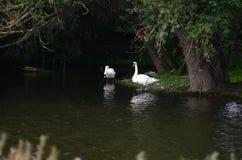 Cisnes pelo anoitecer na Holanda Foto de Stock Royalty Free