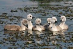 Cisnes pequeños, hermosos Fotos de archivo