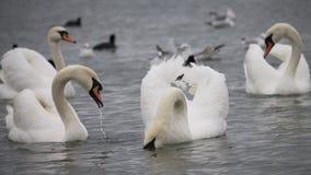 Cisnes perto da balsa, Chornomorsk, Ucrânia fotos de stock royalty free