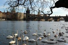 Cisnes perto de Charles Bridge em Praga imagem de stock royalty free