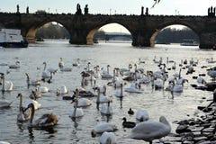 Cisnes perto de Charles Bridge em Praga foto de stock
