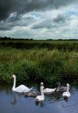 Cisnes por el wheater tempestuoso Fotos de archivo