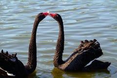 Cisnes pretas imagem de stock