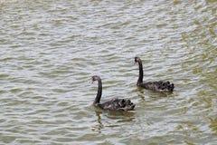 Cisnes pretas Fotografia de Stock Royalty Free