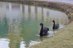 Cisnes pretas Imagens de Stock Royalty Free
