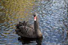 Cisnes pretas fotos de stock royalty free