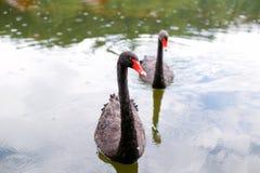 Cisnes pretas bonitas que nadam no lago Foto de Stock