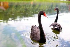 Cisnes pretas bonitas que nadam no lago Imagens de Stock