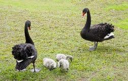 Cisnes pretas com cisnes novos do bebê imagem de stock royalty free