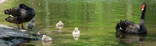 Cisnes pretas com seus pintainhos imagem de stock