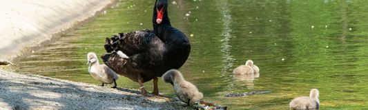 Cisnes pretas com seus pintainhos fotos de stock