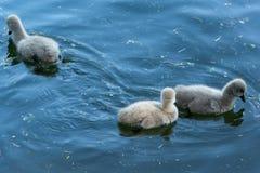 Cisnes pretas com seus pintainhos imagem de stock royalty free