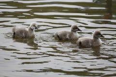 Cisnes pretas do bebê na água Imagens de Stock