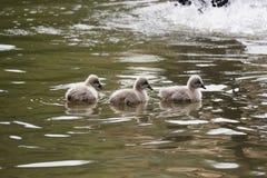Cisnes pretas do bebê na água Imagens de Stock Royalty Free