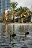 Cisnes pretas no lago Eola, Orlando Imagens de Stock Royalty Free