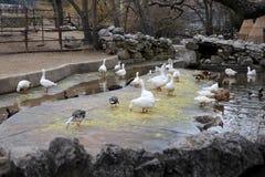 Cisnes preto e branco que nadam no lago Fotos de Stock Royalty Free
