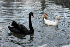 Cisnes preto e branco que nadam no lago Fotografia de Stock