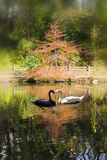 Cisnes preto e branco que tocam nos bicos na forma do coração Imagens de Stock