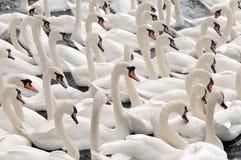 Cisnes que alimentam no Swannery de Abbotsbury Fotografia de Stock