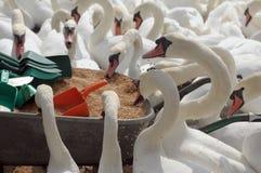 Cisnes que alimentam no Swannery de Abbotsbury Imagem de Stock Royalty Free