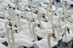 Cisnes que alimentam no Swannery de Abbotsbury Fotografia de Stock Royalty Free