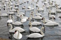 Cisnes que alimentam no Swannery de Abbotsbury Imagem de Stock